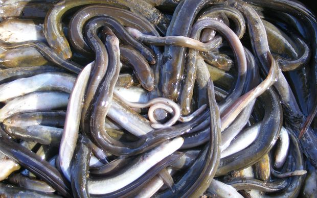 Eowyn Starr pulled nearly 40 dead eels out of the creek