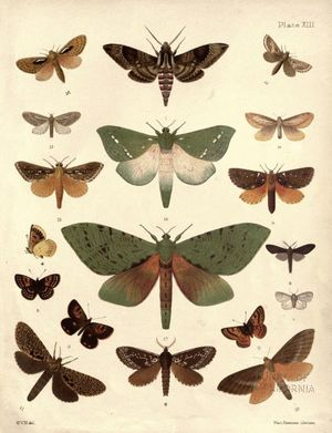 Plate from 'New Zealand Moths and Butterflies' by George Vernon Hudson (1898)