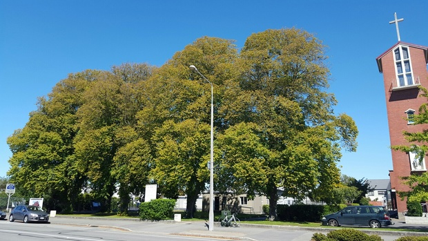 Lime Trees Chch