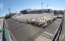Retired vet raises concerns about treatment of sheep at meatworks: RNZ Checkpoint