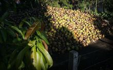 Coconuts pile on a yard ready for processing.