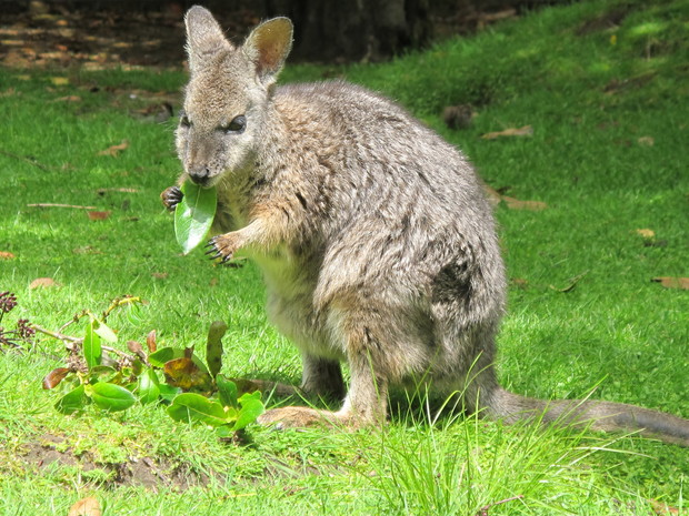 Dama wallaby eating a leaf