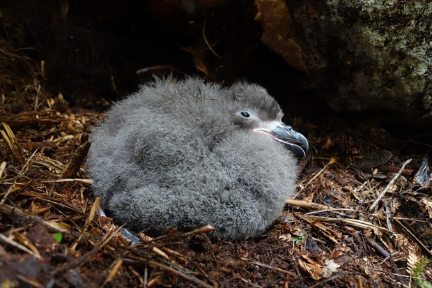 A Chatham Island taiko chick