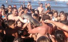 A dolphin died after being handled by a large crowd of beachgoers in Buenos Aires, Argentina. 19 February 2016.