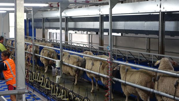 The milking parlour milks 120 ewes at a time. Landcorp are moving into milking sheep.