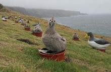 Chatham albatross chicks sit on their flowerpot nests surrounded by decoy albatrosses to create a sense of a busy noisy colony