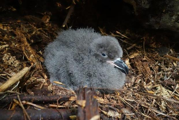 A Chatham Island taiko chick in its underground nest