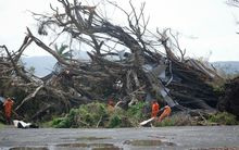Inmates clear a large fallen tree in Rakiraki
