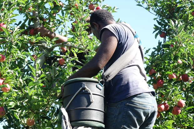A man from Vanuatu works in a Hawke's Bay orchard under the Recognised Seasonal Employer scheme.