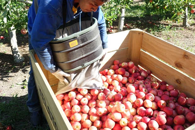 RSE worker offloads apples into a crate in a Hawke's Bay orchard.