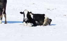 A dairy cow in the snow in winter