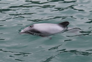 Hector's dolphin at the surface