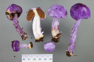The purple pouch fungus, variously whole or cut in half to show pulpy interior