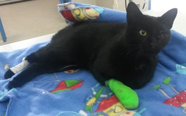 Ashburton cat Billy was shot and injured this week. He eye and spinal injuries and three pellets from a slug gun embedded in his head and neck.