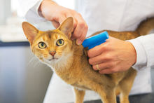 A vet putting a microchip implant into a cat.
