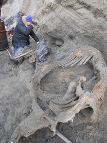 Sergey Gorbunov, a volunteer for the excavation team, is excavating the mammoth remains at Sopochnaya Karga locality