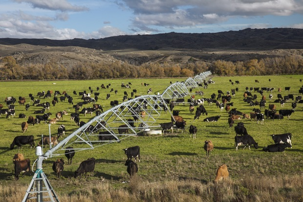 Dairy cows graze under irrigation system near Lauder, Central Otago (2014)