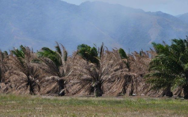 Oil Palm damaged by drought, Ramu Valley, Papua New Guinea, September 2015.