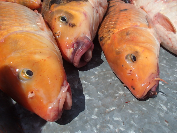 Three koi carp showing their large lips and the small fellers on either side of their mouth.