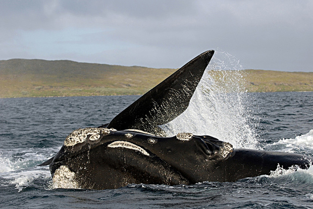 Southern right whale breaching at subantarctic Auckland Island.