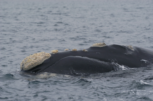 Southern right whales can be individually identified by the patterns of rough white callosities on their head.