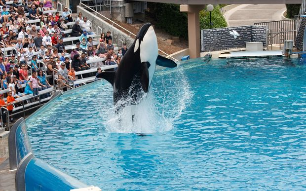 Orca whales at SeaWorld