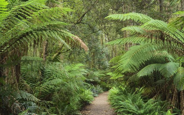 Footpath through Temperate Rainforest, Strahan, Tasmania, Australia.