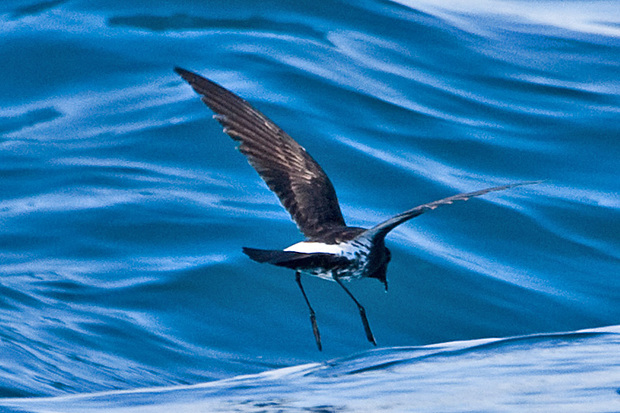 A little New Zealand storm petrel flying just above the sea surface with its legs dangling