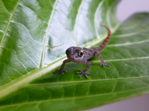 Small brown gecko on a leaf