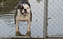 One unhappy bulldog in floodwaters in Motueka