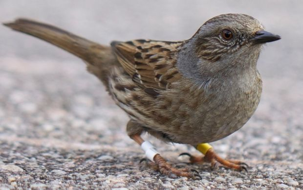 Dunnocks - and what bird sperm can tell us | RNZ