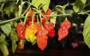 Bongo chillies are described as having an intense fiery heat.