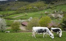 Cows graze in Vosges, France.