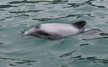 Small grey dolphin photographed from a boat