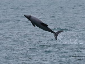 Dolphin in mid air
