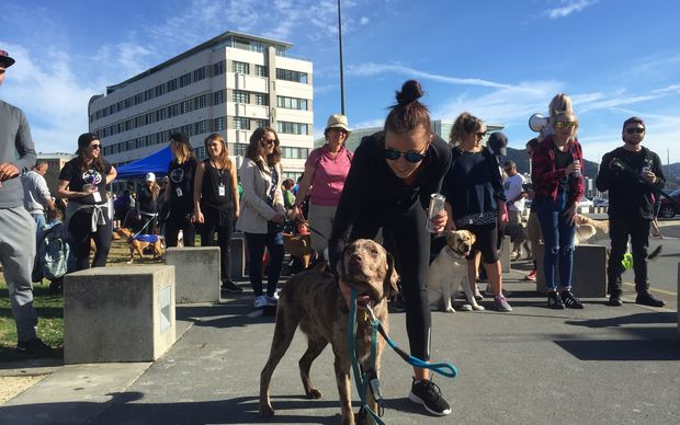 Big Dog Walk - one of the 20-dog packs about to set off in Wellington