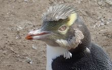 Yellow-eyed penguin that has nearly finished moulting