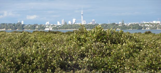 Motu Manawa, the island of mangroves, is a nature reserve within view of Auckland's downtown.