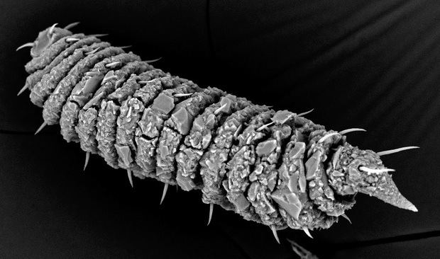 A black and white photo of a tube-like animal covered in large scales