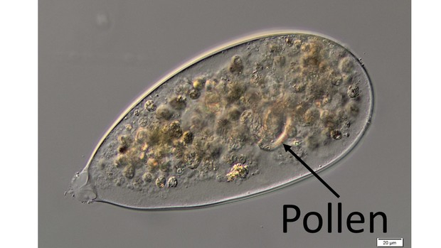 A sac of sediment and a pine pollen grain