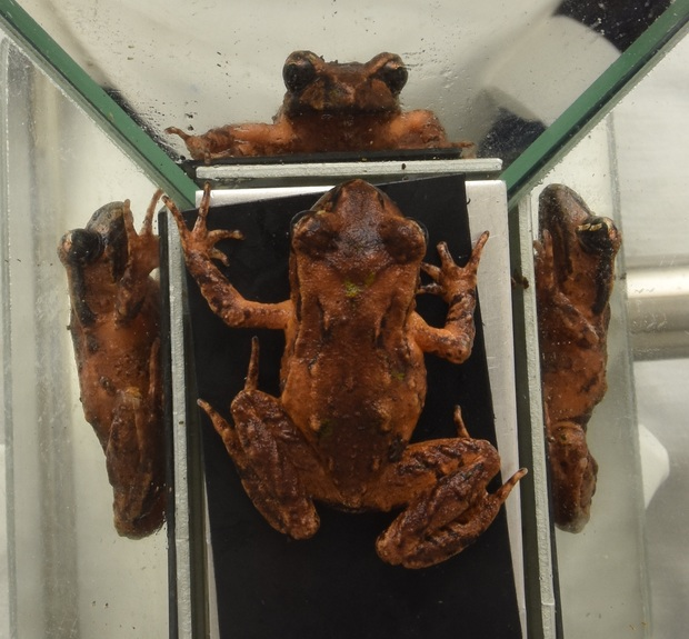 Frog surrounded by mirrors