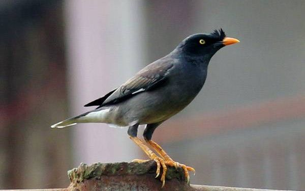 American Samoa Mynah trapping to go on | Radio New Zealand ... - photo#42