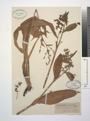 During Captain Cook's first voyage to New Zealand, in 1769, Joseph Banks and Daniel Solander collected specimens of rengarenga lilies, now held in Te Papa's plant collection.