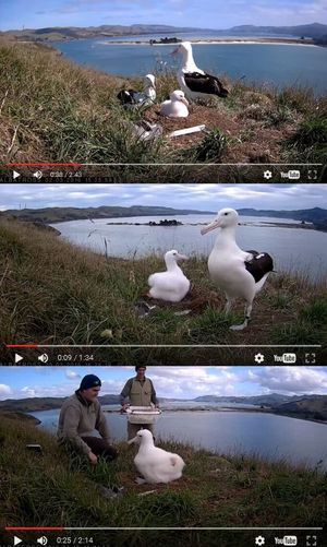 Three still frames taken from the nest cam, showing various albatrosses