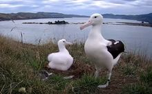 Two albatrosses