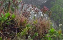 The insect-eating Drosera magnifica was discovered after someone posted a picture of it on Facebook.