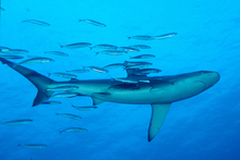A school of fish trails a Galapagos shark near the Kermadec Islands.