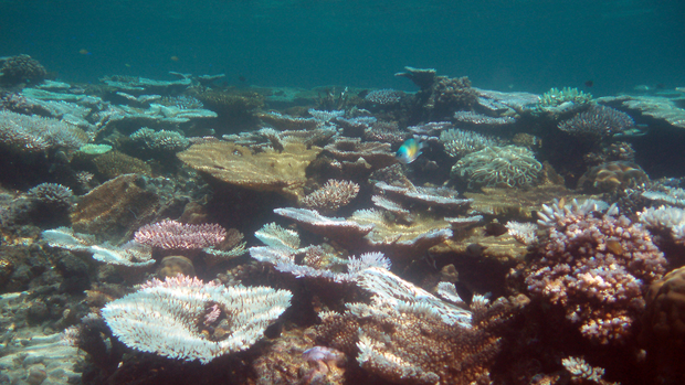 Coral Reef, bleached