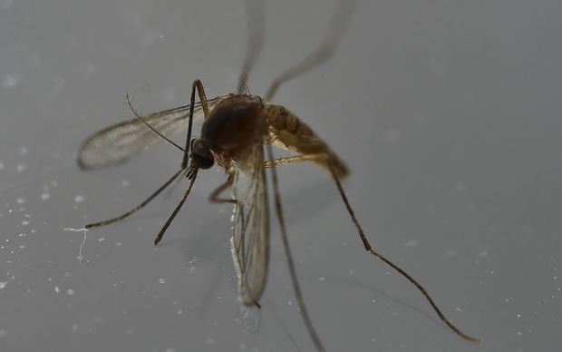 "Researchers have recently discovered the Zika virus in a second mosquito species known as the ""Asian Tiger"" mosquito, (formally named Aedes albopictus). The species stretches much further north into the United States than the previously known Zika carrying Aedes aegypti species."