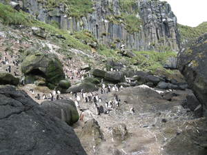 Penguin colony (mixed species) in Anchorage Bay, Antipodes Island